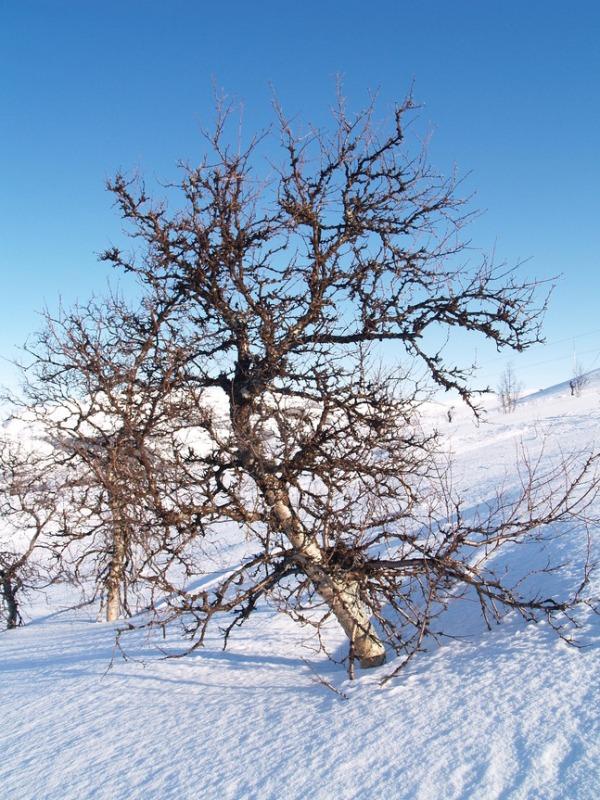 Foto av dvergbjørk http://bit.ly/mtGVWa
